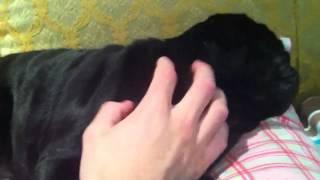 Mildly annoying my pug