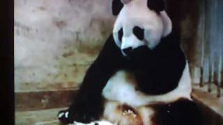 Poor Babe panda it just wants too sleep