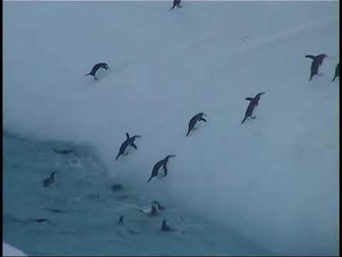 Antarctic Peninsula Part 20. Chinstrap Penguins vs iceberg