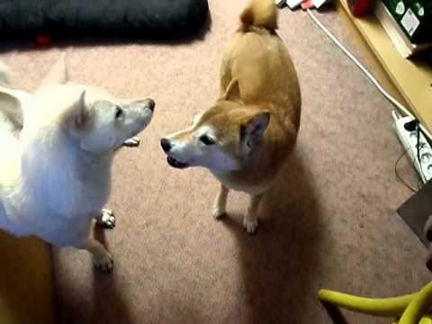 Shiba inu Kimy says she wants something to taste :-)
