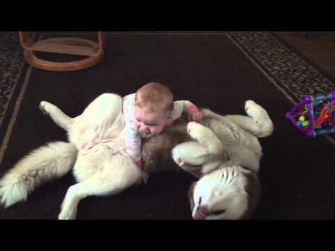 un husky de sib rie s 39 amuse avec un b b de 7 mois youtube. Black Bedroom Furniture Sets. Home Design Ideas