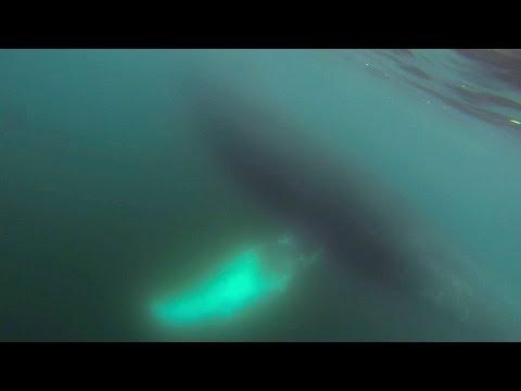 Chant de baleines à bosse en Antarctique