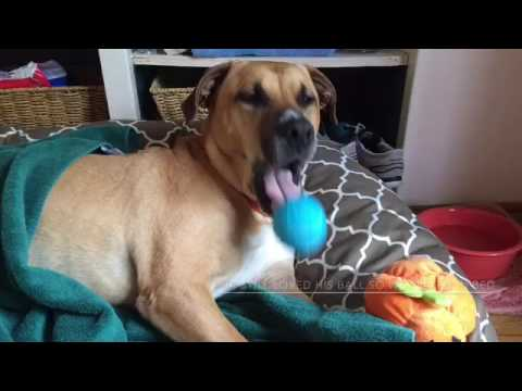 Amazing Pete - dog spinal cord injury recovery - YouTube