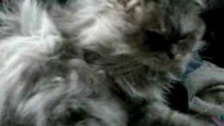 Boubou Persian Kitty Cat