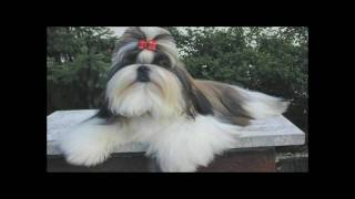Shih Tzu - Westminster Kennel Club - Spoof