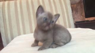 Бурманский котёнок Freya Way