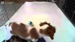 Star Yorkia Kennel -  Puppy Playtme:male Cavalier Sensation & Male Yorkie Orlando Bloom