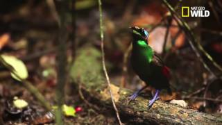 Download Video INDO365 - FLORAFAUNA - Papua's Winged Beauties, Bird Of Paradise MP3 3GP MP4