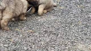 Просим добавки!!! Щенки кавказской  овчарки проголодались