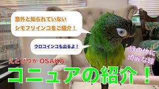 【えとぴりかOSAKA】少し珍しいコニュアのご紹介【シモフリインコ・ウロコインコ・Conure】
