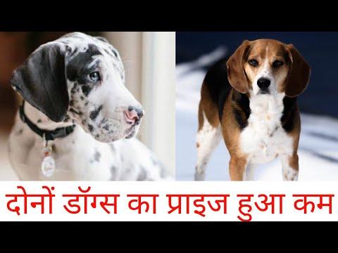great dane puppis and beagle dog ! dono ka price hua kam