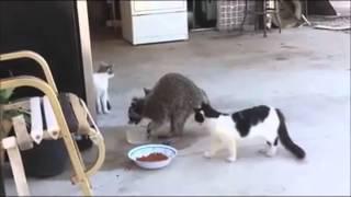 """""""MAPACHE CHOLO"""" Roba Croquetas A Los Gatos (AUDIO ANIMADO) !!"""
