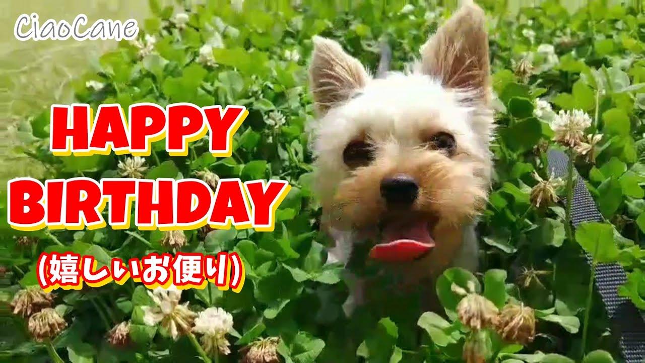 チャオっ子達の誕生日【嬉しいお便り】【ヨークシャーテリア専門犬舎チャオカーネ】