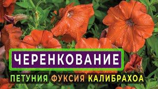 Черенкуем петунии,фуксиии,калибрахоа и другие цветы .