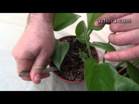 Размножение филодендрона