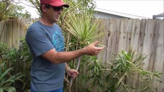 How to Grow Dracaena From Cuttings - 5 Different Varieties of Cuttings Used in This Video