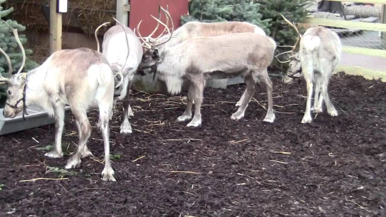 Real Reindeer At Planters Garden Centre
