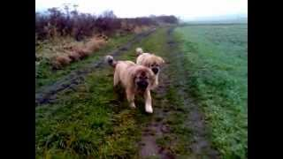 The morning walk with puppy´s Caucasian ovcharka