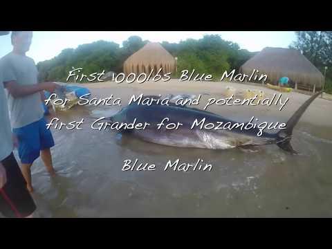Santa Maria Mozambique 1000 Pound Blue Marlin