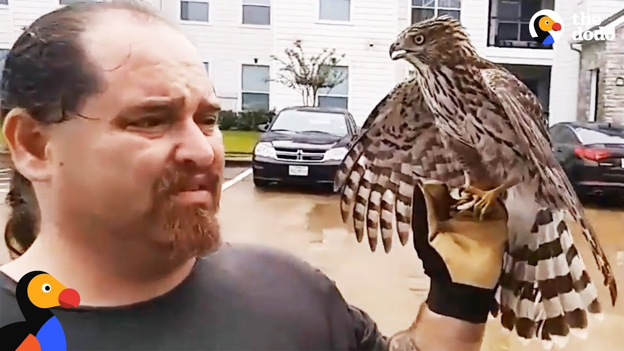 Harvey The Hurricane Hawk UPDATE: Hawk Hitches A Ride To Shelter During Hurricane
