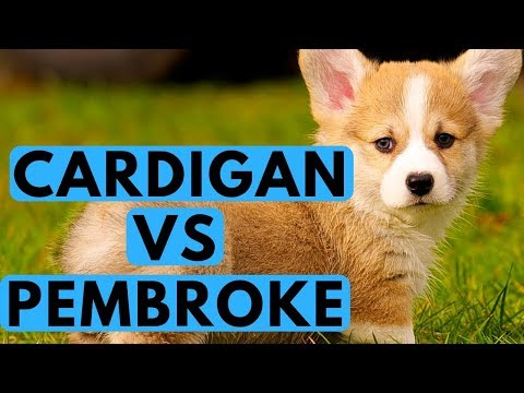 Cardigan vs Pembroke Welsh Corgi Difference