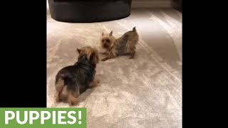 Yorkie dogs get overly excited for the weekend