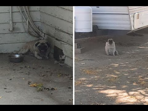 Two Pugs Were Fighting For Their Lives In Extreme Heat, But Their Owner Refused To Give Them Up