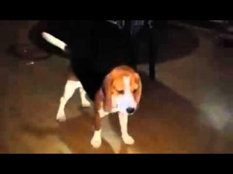 Lou the beagle- Lala meets mallow the Japanese spitz