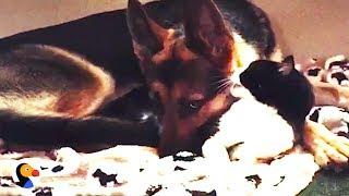 Cat Kisses Dog Goodnight | The Dodo