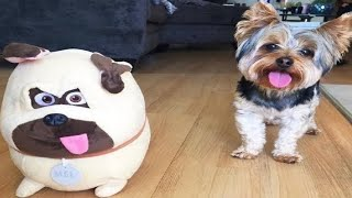Best Of Cute Yorkie Puppies Compilation Funny Dogs 2020