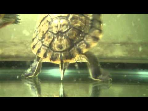 Red Eared Slider Lays Egg 20110711