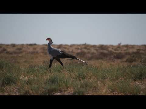 P6141840   Secretarisvogel Etosha NP