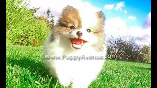 Liberty The Tiny Akc Pomeranian Female Puppy For Sale In San Diego, Ca