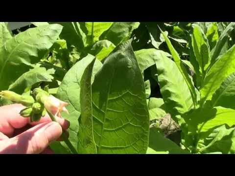 Growing tobacco, harvest and drying