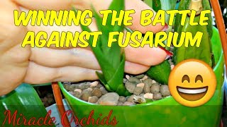 Winning the battle against fusarium!! Zygopetalum spikes after 4 years!!