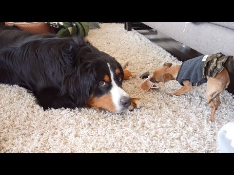 Vocal dog shares his frustration after having to share with puppy