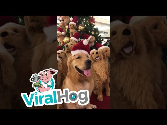 Christmas Tree Full of Doggos  || ViralHog