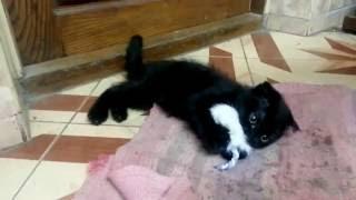 Котенок шотландский вислоухий поймал мышку.Шипит и фырчит! Опасная зверюга!!