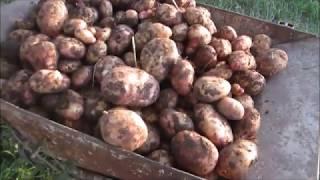 Копаем картошку выращенную на растительных отходах