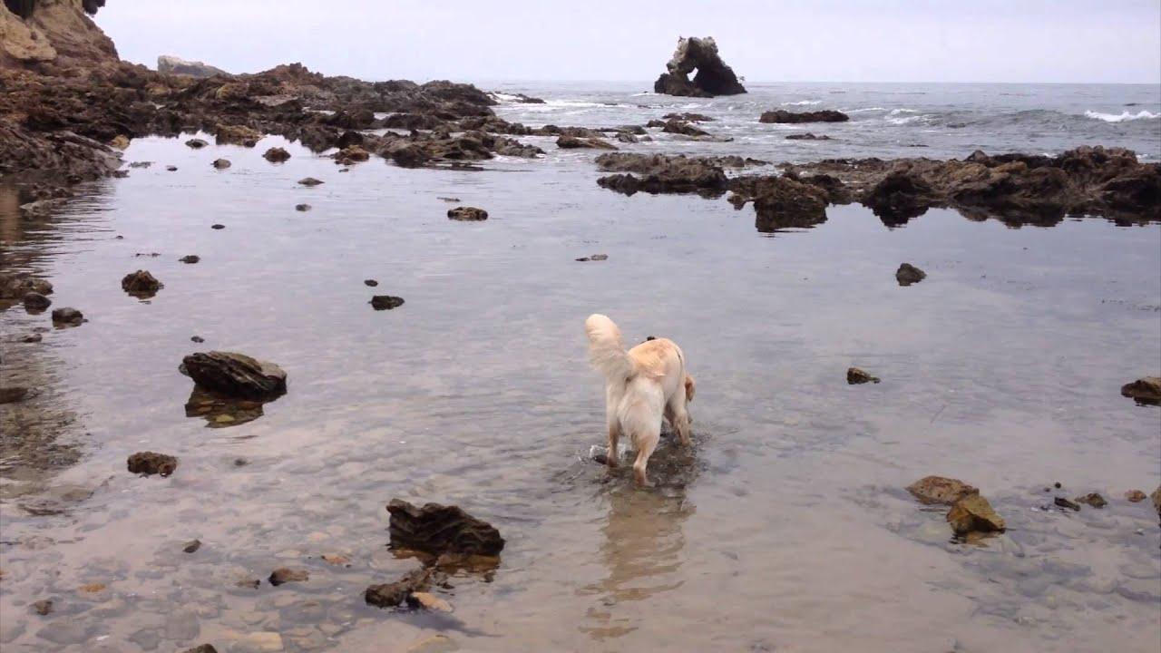 Cute Dog Playing In Tide Pools Little Corona Del Mar Beach Orange County Ca Golden