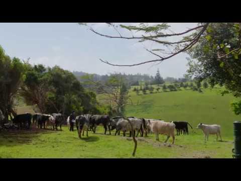 Norfolk Island   Cattle Breeder INSTAGRAM GRADED MASTER