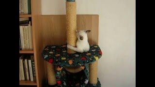Кошка учит котенка доставать игрушку! Улётное видео! Тайские кошки - это чудо! Funny Cats