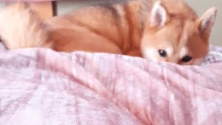 Shiba Inu Momo - There's A Fox On My Bed 🦊