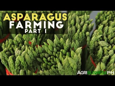 How to grow asparagus in the Philippines | Asparagus farming part 1