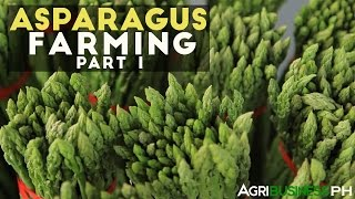 Asparagus Farming Part 1 : Asparagus Farming in the Philippines | Agribusiness Philippines