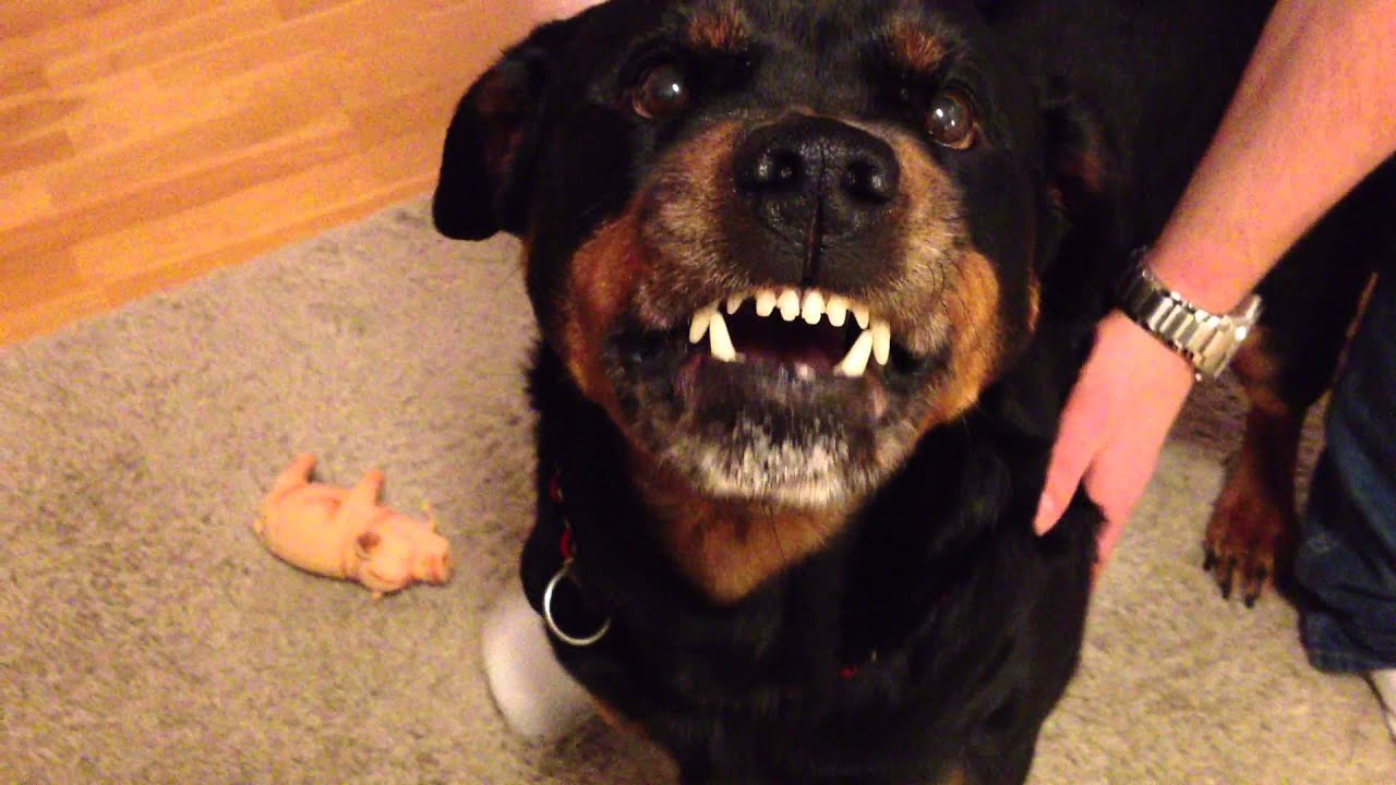 Angry Rottweiler 2  YouTube