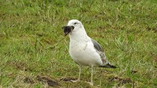 Vroege Vogels - Meeuw verorbert mol