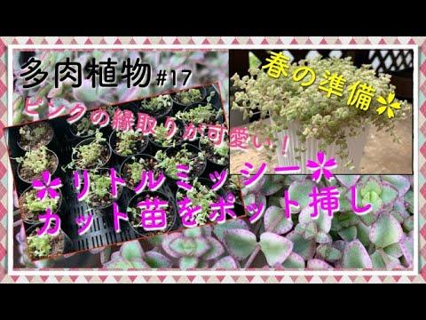 【多肉】#17 ピンクの縁取りが可愛い多肉植物 リトルミッシーのポット挿し