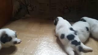Горная Пиренейская собака.  Продажа щенков