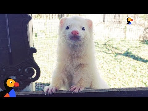 Ferret Is His Mom's Hero - FERGUS | The Dodo